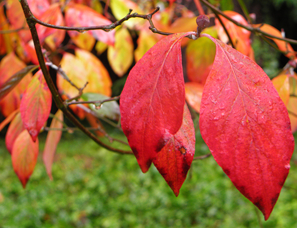 2 Red Dogwood Leaves with Yellow Leaves in Background