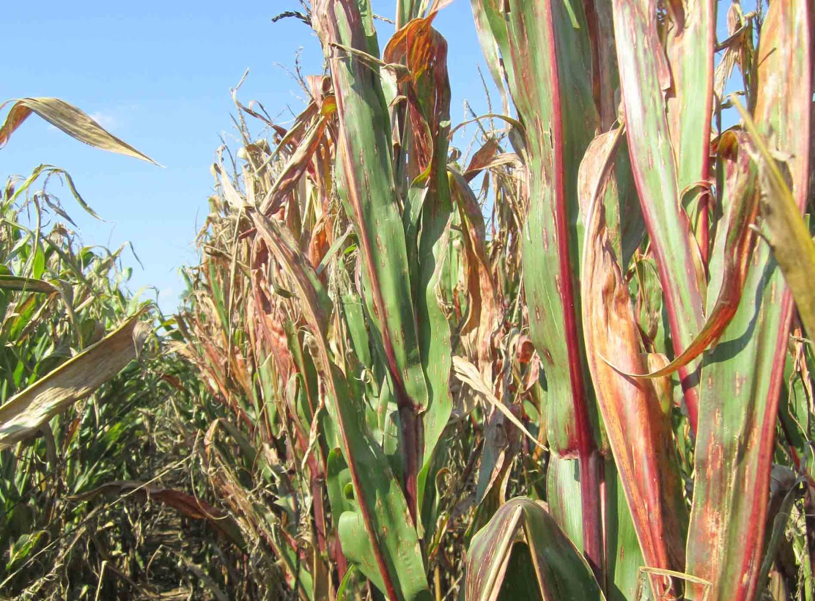 grain crops update red corn leaves and stalks