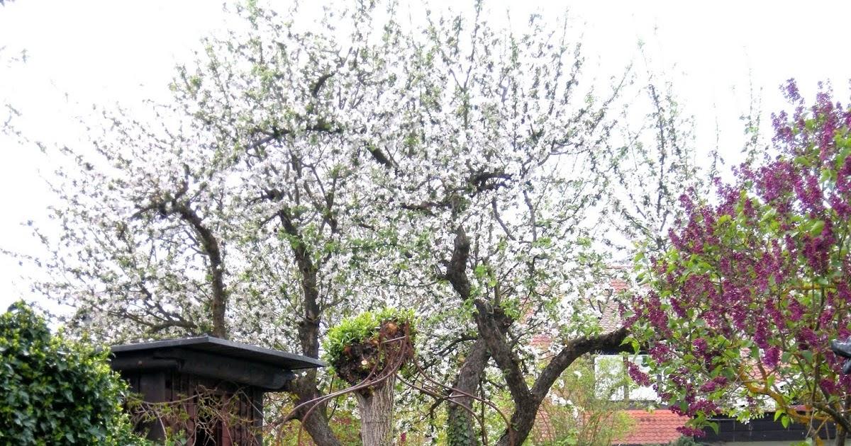 alter apfelbaum radikalschnitt