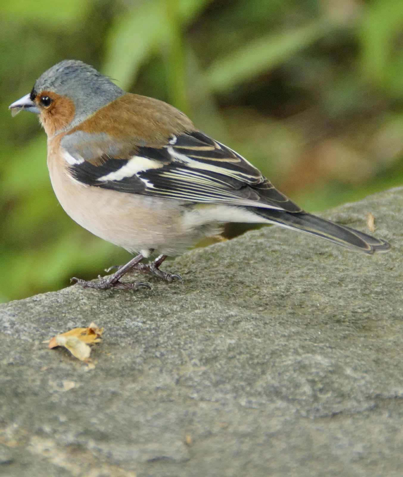 Picture of a chaffinch bird.