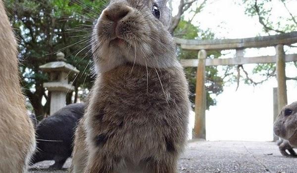 Tavşan Adası (Okunoshima) Japonya