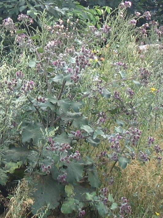 how to take burdock root