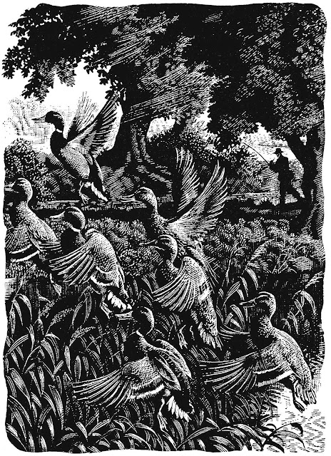 Charles F Tunnicliffe illustration of rising duck flock