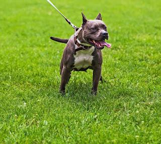 pit bull cães