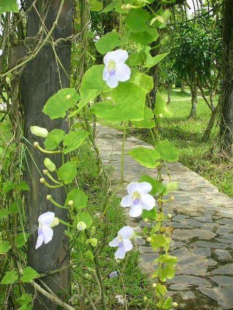 Bông Báo - Thunbergia grandiflora - Nguyên liệu làm thuốc Đắp vết thương Rắn Rết cắn