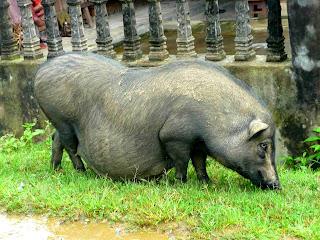 Vietnam, Sapa, pregnant pig