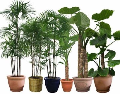 Chăm sóc cây cảnh trồng trong chậu