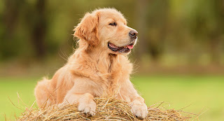 Love For Goldens - 5 Reasons It's Easy To Lose Your Heart To A Golden Retriever