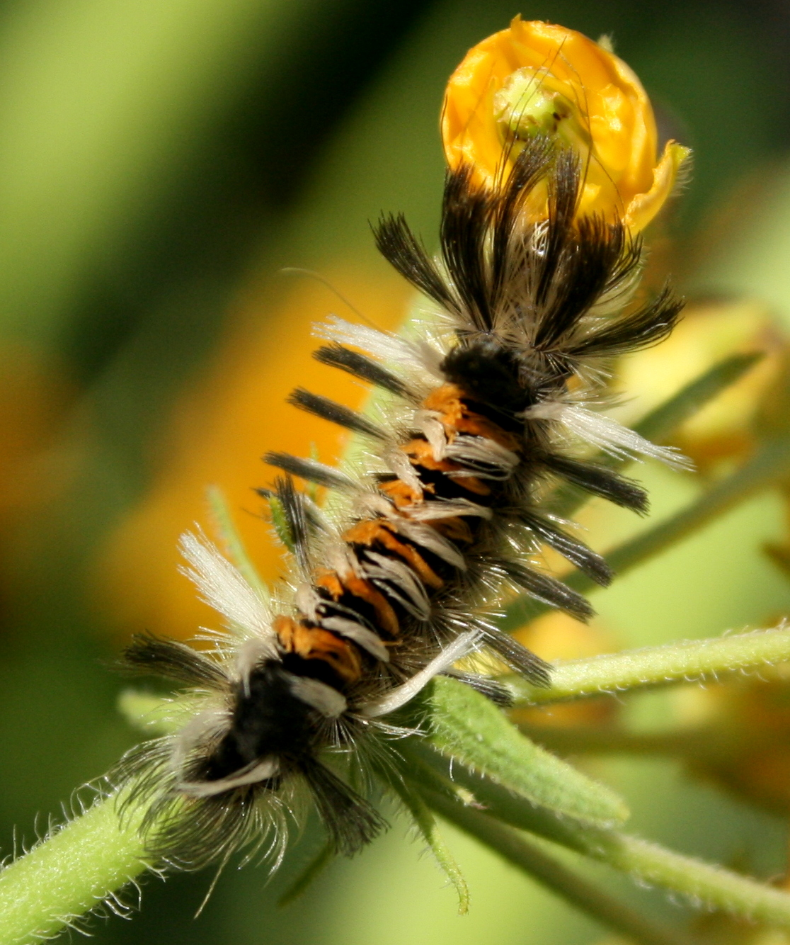 Gray Caterpillars That Are Big: South Englishtown Gazette: A Punk Caterpillar On Milkweed