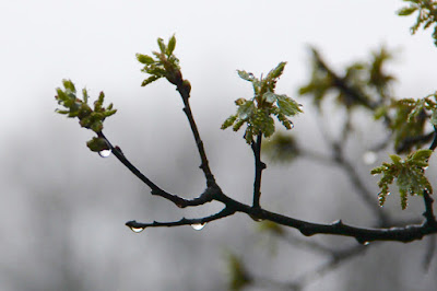 oak leave clusters with rain