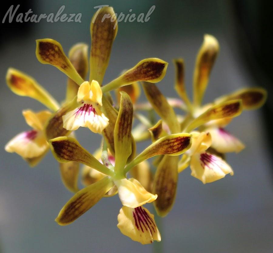 Fotografía de las flores de la orquídea Encyclia bocourtii