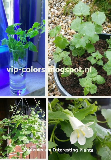 lofos sadzonki, lofos care, rośliny na balkon, kwiaty na balkon, lofos pielęgnacja, lofos zdjęcia,