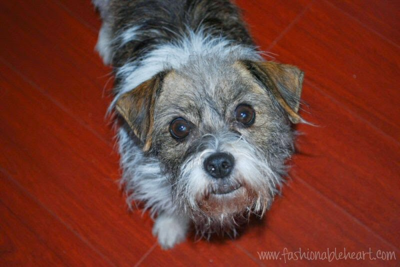 indy border terrier mix