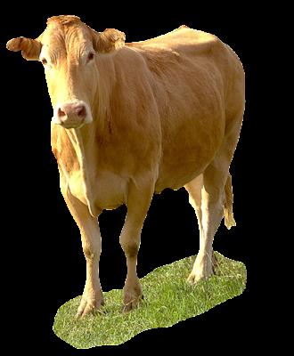 imagen de foto de  vaca png
