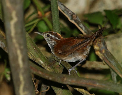 Rufous and white Wren