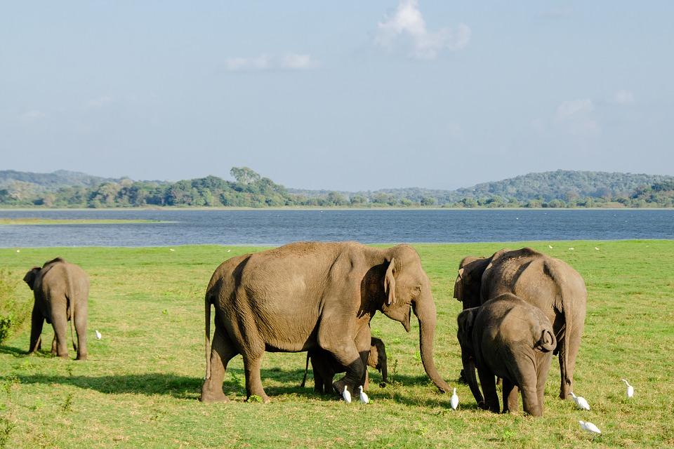 हाथियों की कुल कितनी प्रजातियां हैं?   हाथी की सभी प्रजातियो के बारे में जानकारी   Elephent in Hindi