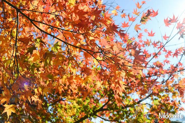 【日本。河口湖】紅葉回廊:觀賞紅葉和富士山的好地點! 1
