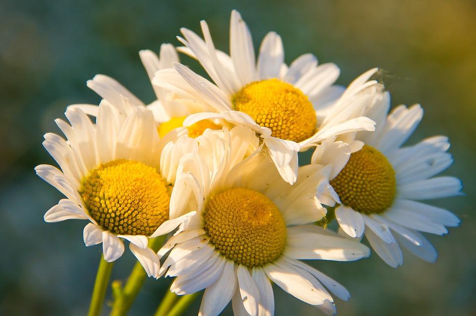 https://pixabay.com/pl/rumianek-bukiet-kwiaty-pola-p%C5%82atki-1261797/