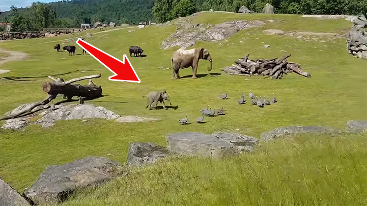 Baby Elephant Takes Tumble While Chasing Birds - Viral Video marketing