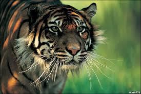 Harimau Lapar