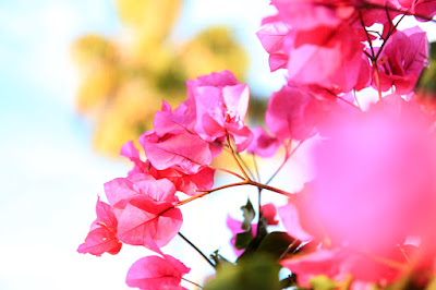 Fuchsia Bougainvillea - Flower Photography by Mademoiselle Mermaid