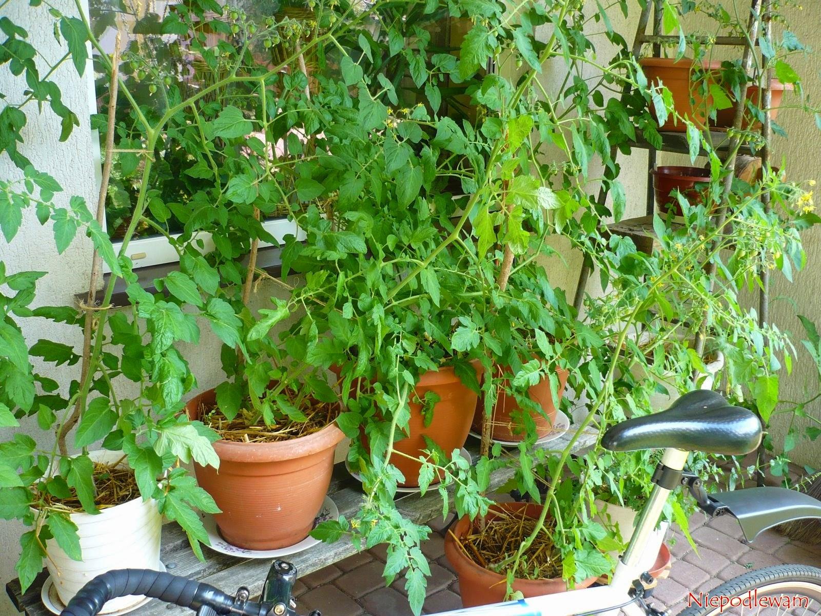 Niepodlewam Pomidory Na Balkonie Uprawa Krok Po Kroku