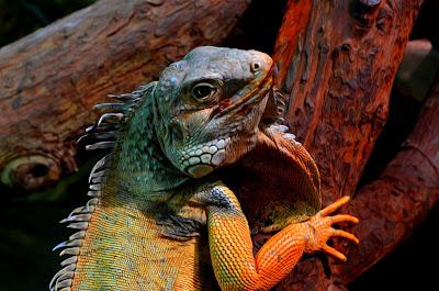 Leguan, iguana, Iguana, İguana, ігуана, iguaan, igwan, iguāna, iguană,  игуаната, Игуана, Игуана, 鬣蜥,イグアナ,