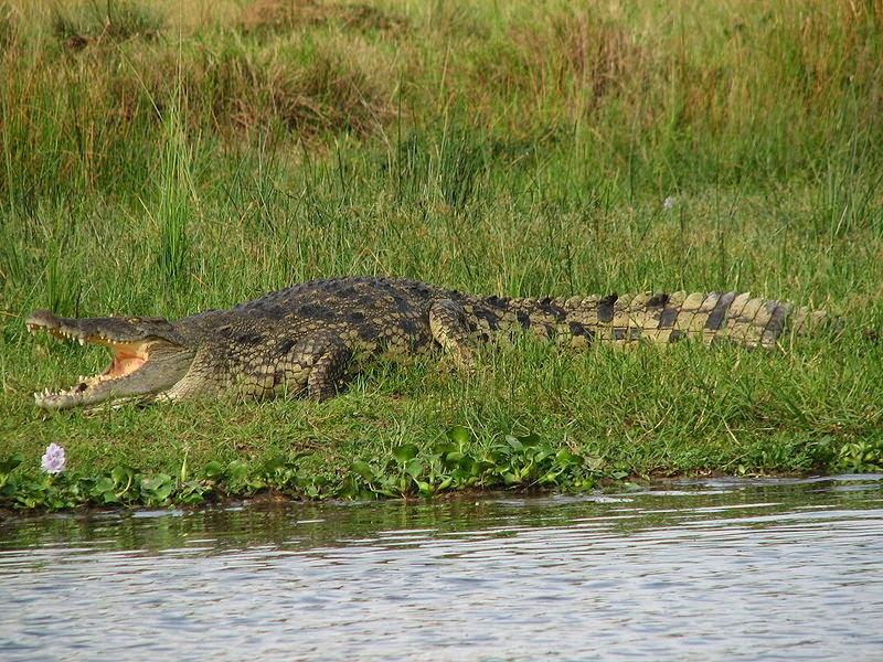 تعرف على التمساح النيلى بالصور والفديو Nile crocodile