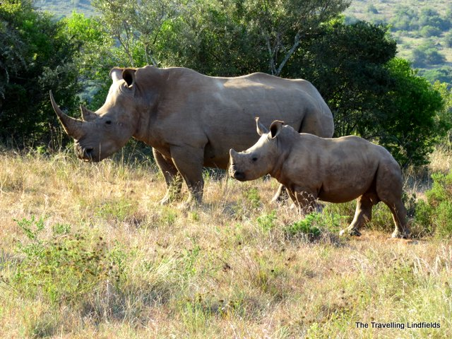 White rhinos at Shamwari