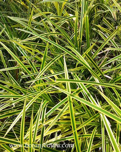 Pandanus pygmaeus, Small Screw Pine