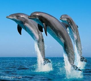 صور الدولفين