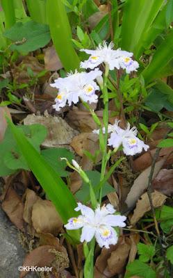 iris, Japan