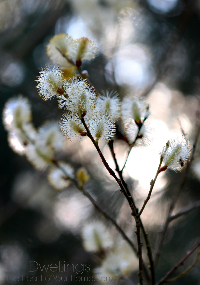 Spring Pussy Willow Blossoms