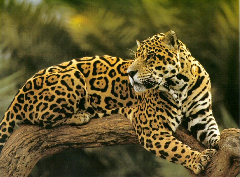 A little something about animals jaguar or leopard whats - Pics of a jaguar animal ...