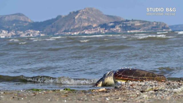 Θανάσιμα τραυματισμένη θαλάσσια χελώνα στην Αργολίδα (βίντεο)