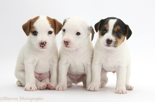 Jack Russell Terrier - Si Gagah dan Pemberani  | Story of All Breed Dog in the World