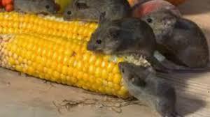 Armon a y salud trucos caseros para desaparecer por - Como eliminar los ratones para siempre ...