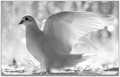 "Poem: ""White Dove In Mourning"""