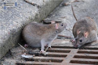 Ratas en las Grandes Ciudades
