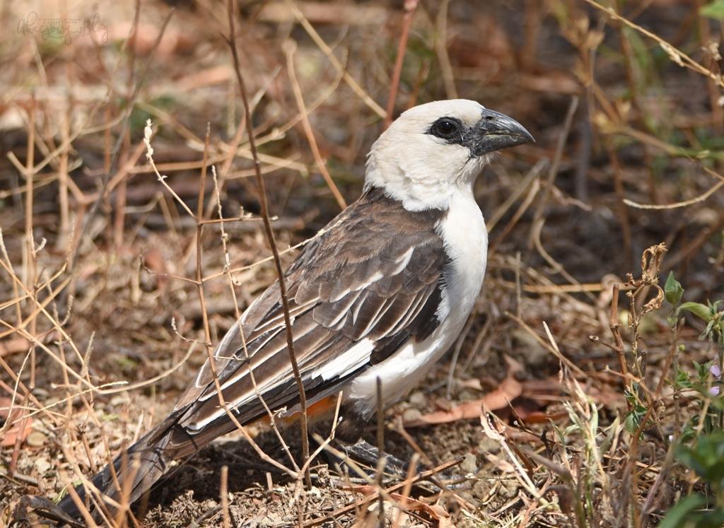 Ptaki Etiopii - nad jeziorem Langano.