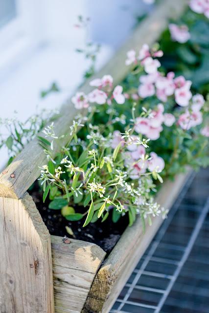 Sommerbepflanzung, Pomponetti, alter Hennentrog aus Holz bepflanzt