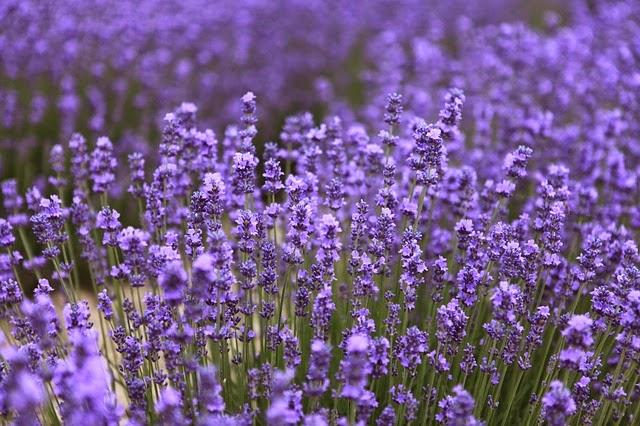 الصحة و الاعشاب الطبية  والطب النبوى Lavender
