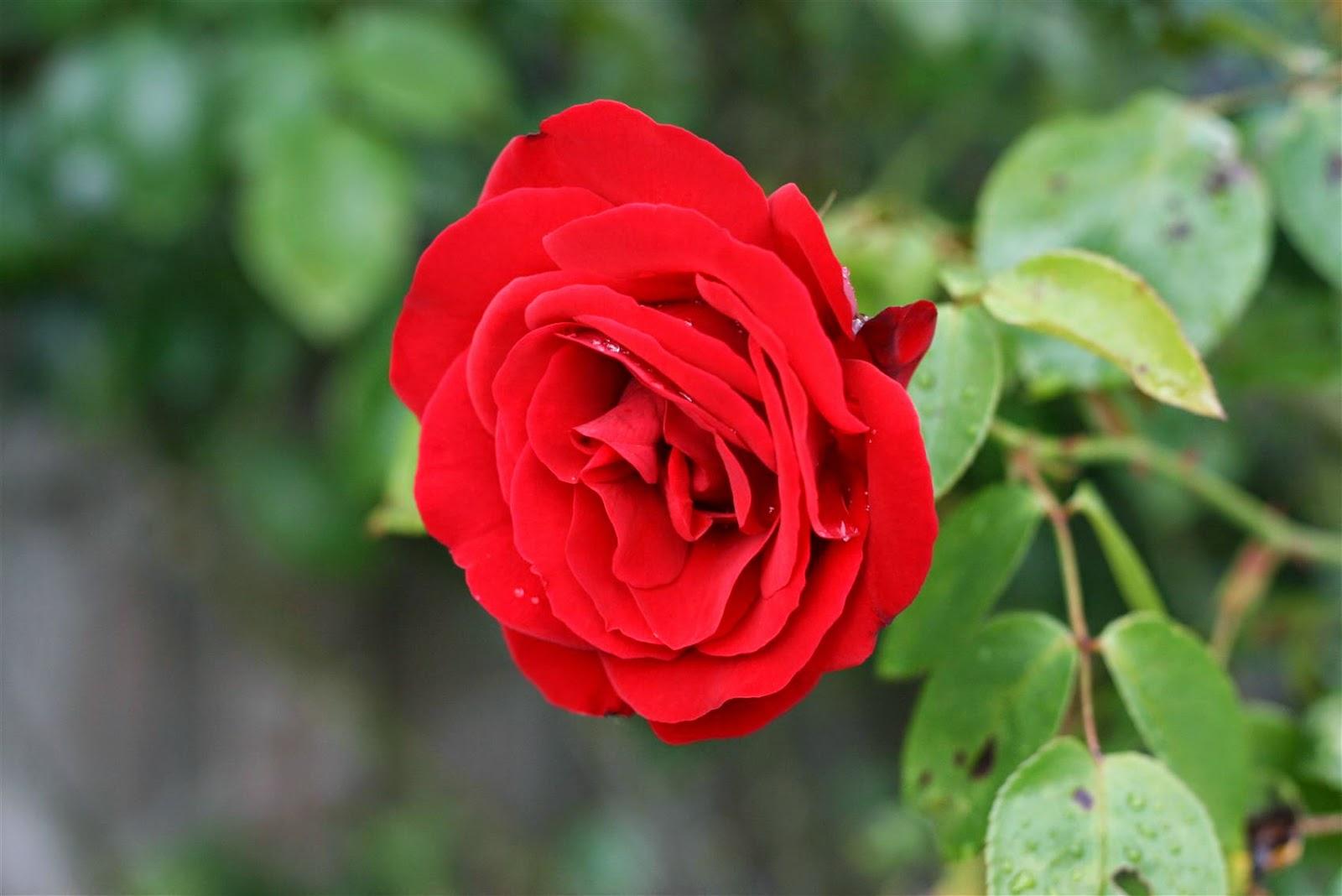 صور وردة حمراء رائعة