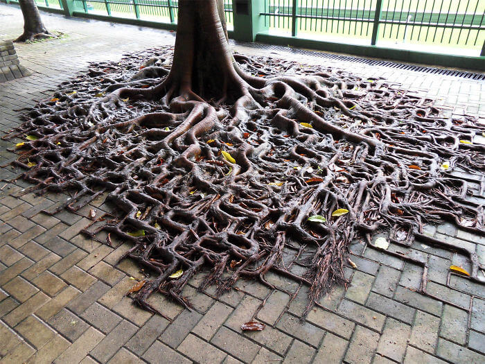 17 Pictures Of Trees That Prove The Miracle Of Life - A Tree's Root Spill Over The Sidewalk