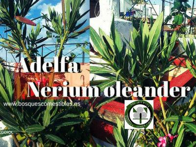La adelfa, Nerium oleander, es una planta venenosa, verde todo el año propio de la zona Mediterránea