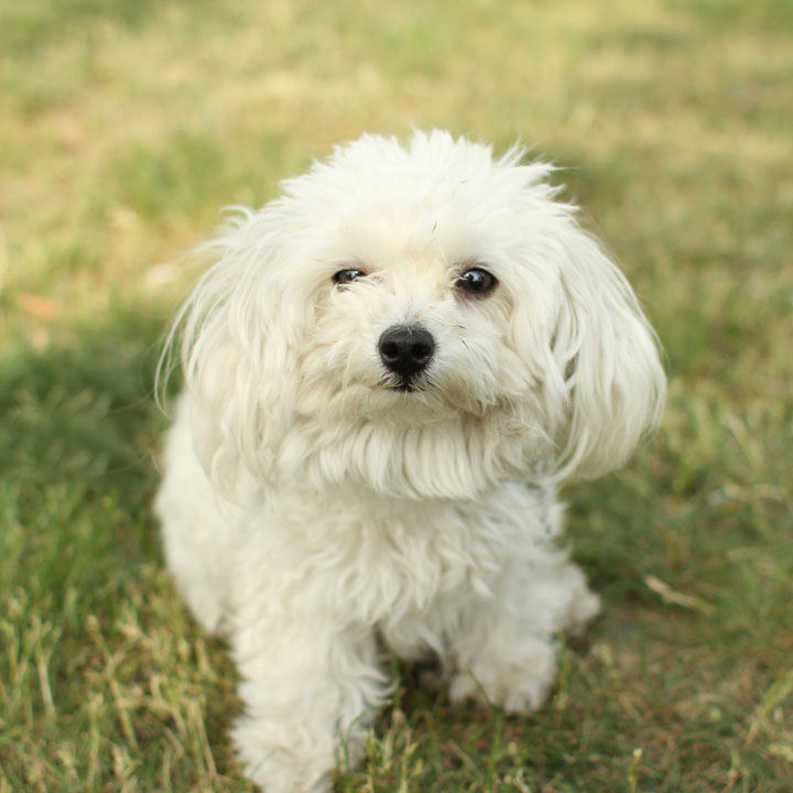 maltese toy poodle mix unnamed maltese toy poodle mix 9479