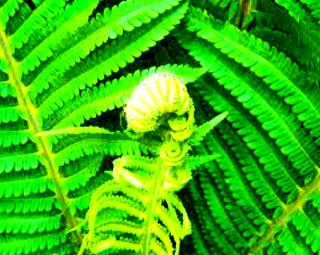 Paku adalah tumbuhan darat tertua yang ada sejak zaman Devon dan Karbon. Artinya telah hidup sejak 300 - 350 juta tahun yang lalu. Fosil paku merupakan sumber batu bara di bumi. Tumbuhan paku umum dijumpai di tempat lembab, menempel pada tumbuhan lain, dan saprofit bahkan hidup di air.