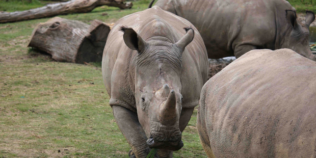 Rhinoceros Vince tragedy gets too close to home with poaching at zoo