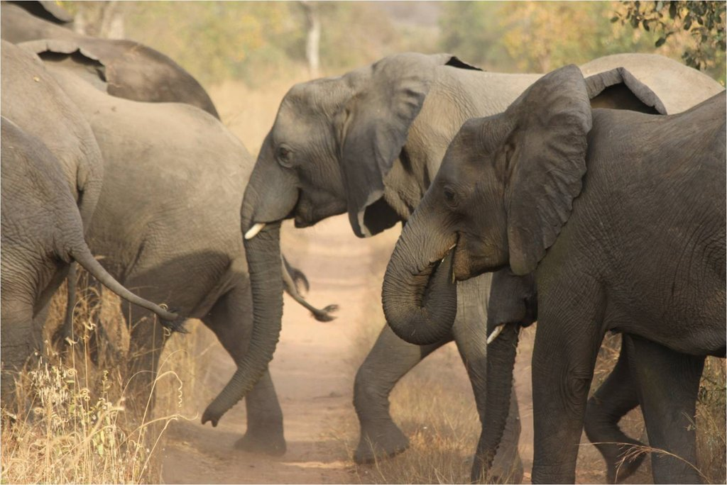 elephants at Yankari Game Reserves  in Bauchi State