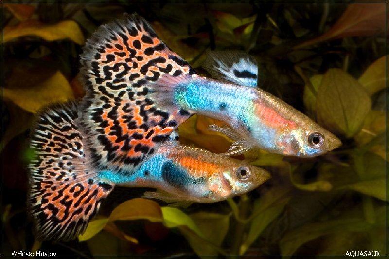 Gambar Ikan Guppy Fantail-Fantail Guppy 2 Male